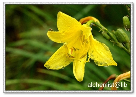 A crab spider on the citron daylily flower
